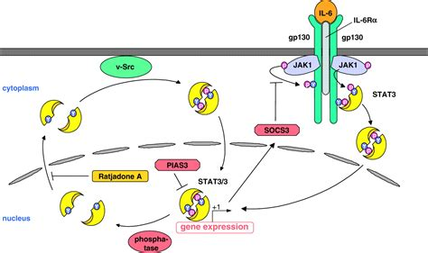 Nucleocytoplasmic shuttling of persistently activated