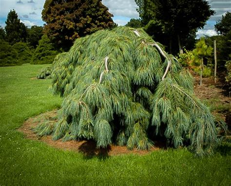 White Weeping Pine For Sale   The Tree Center