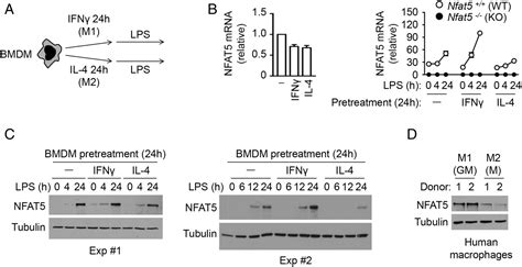 NFAT5-Regulated Macrophage Polarization Supports the