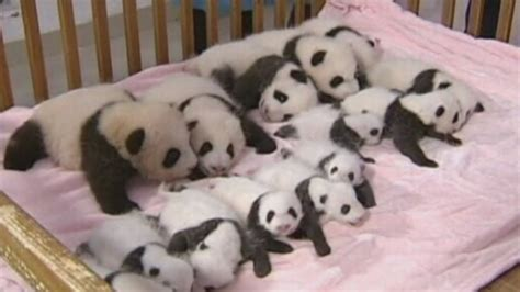 China shows off 14 giant panda cubs - YouTube