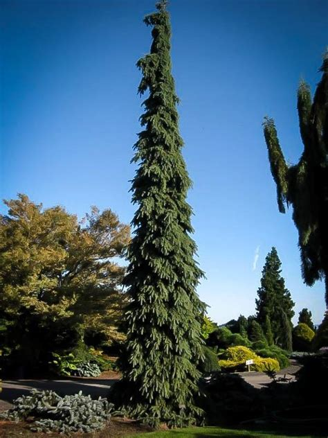 Weeping White Spruce Trees For Sale Online   The Tree Center™