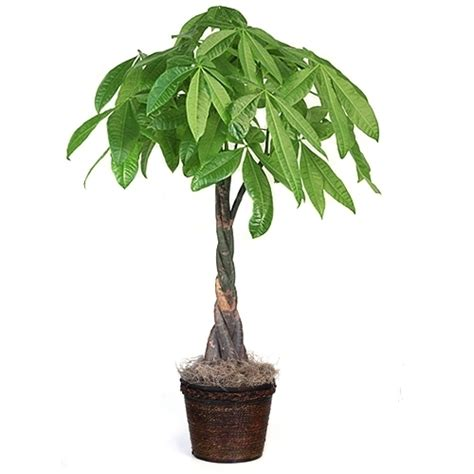 Large Tall Money Tree from EasternLeaf