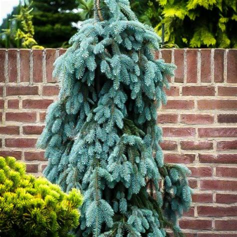 The Blues Weeping Colorado Spruce Trees For Sale   The