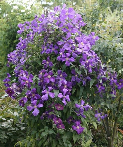 Buy clematis (group 3) Clematis 'Jackmanii': Delivery by