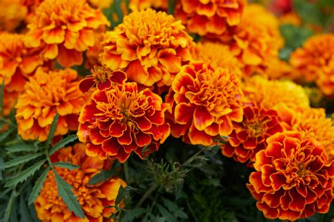 October Birth Flowers: Marigold and Cosmos | The Old