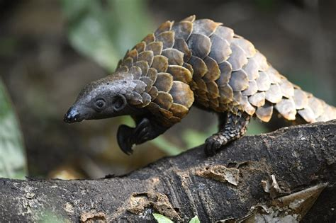 The Pangolin Crisis Fund: hope for pangolins | The