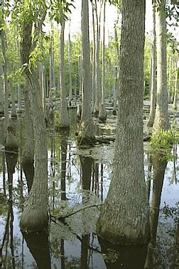 Native Plant of the Week #8- Swamp Tupelo