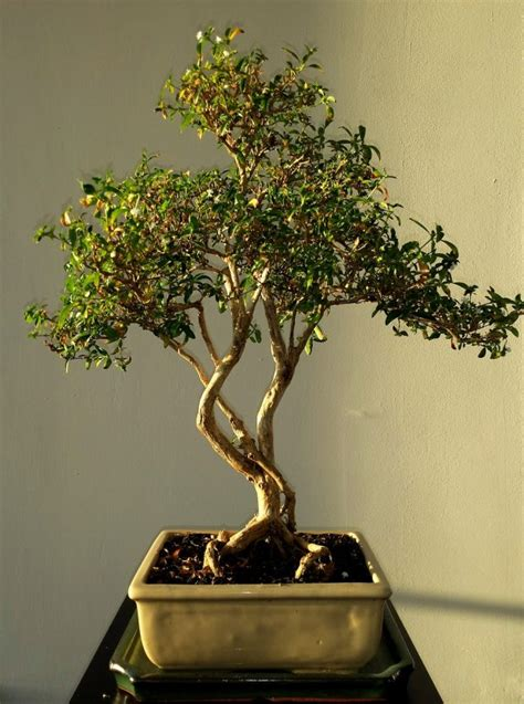 How To Grow Bonsai Tree For Beginners - YourAmazingPlaces