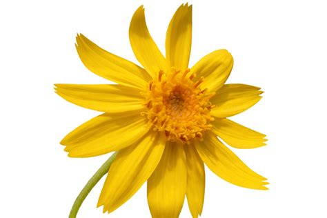 Arnica - Ayurvedic Ingredients Uses & Benefits   Forest