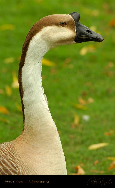 Canada Geese and Domestic Geese