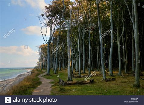 Beech forest, mind wood, ghost wood, at the baltic sea at