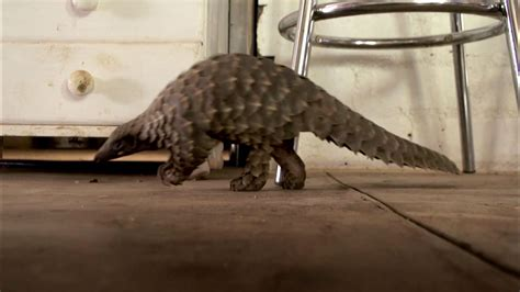The World's Most Wanted Animal | Abused Baby Pangolin Gets