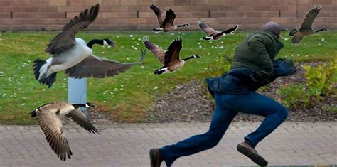 What To Do When a Canada Goose Attacks! - Blog - 103